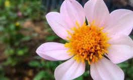 粉红花 库存照片