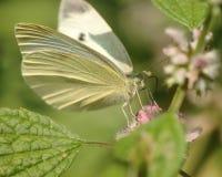 粉蝶 库存图片