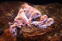 粗俗的章鱼 免版税库存图片