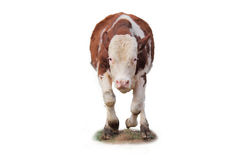 年轻粗壮如牛的人。 免版税库存照片