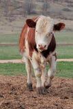 年轻粗壮如牛的人。 库存照片