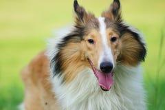 粗砺大牧羊犬的狗 库存图片