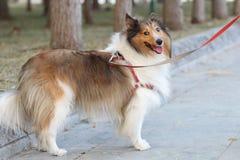 粗砺大牧羊犬的狗 免版税库存图片