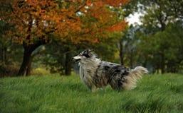 粗砺大牧羊犬 库存照片