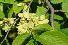 粗砺开花的榆木,形式下垂(榆树glabra Huds E 免版税库存照片