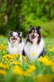 粗砺的大牧羊犬和sheltie狗 免版税库存照片
