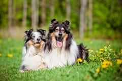 粗砺的大牧羊犬和sheltie狗 库存图片