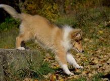 粗砺的大牧羊犬小狗3个月 库存图片
