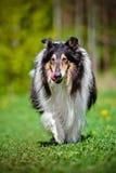 黑粗砺的大牧羊犬狗 图库摄影