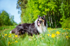 黑粗砺的大牧羊犬狗 库存图片