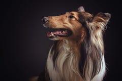 粗砺的大牧羊犬-苏格兰牧羊人(少女) 黑貂颜色 免版税图库摄影