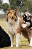 粗砺的大牧羊犬 库存照片