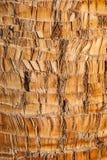 粗砺的棕色棕榈树木吠声自然纹理背景。 免版税库存图片