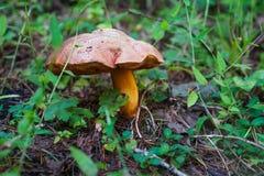 粗砺的牛肝菌蕈类蘑菇在森林里 免版税库存图片