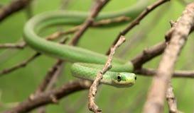 粗砺的翠青蛇 免版税库存照片