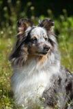 粗砺蓝色大牧羊犬的merle 免版税库存照片