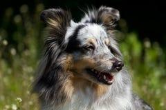 粗砺蓝色大牧羊犬的merle 免版税库存图片