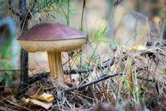 粗砺被抽去的牛肝菌蘑菇 免版税库存照片