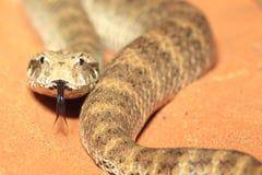 粗砺被称的致死毒蛇 免版税库存图片