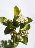粗碳酸钠的花在春日特写镜头开花 免版税库存照片
