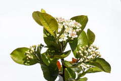 粗碳酸钠的花在春日特写镜头开花 库存图片
