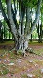 粗糙的老树在古老苏格兰站点 免版税库存照片
