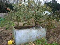 粗糙的苹果树 免版税图库摄影