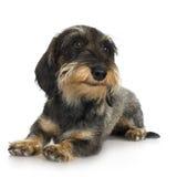 粗糙的达克斯猎犬头发的年轻人 免版税库存照片
