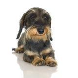 粗糙的达克斯猎犬头发的年轻人 库存照片