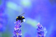 粗野的土蜂会集从淡紫色花的花蜜, 库存图片
