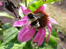 粗野的土蜂 图库摄影