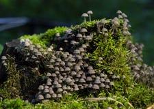粗野的墨水盖帽Coprinellus disseminatus 库存图片