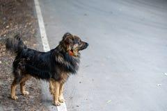 粗野的失去的狗在一条灰色柏油路和神色站立入距离 r 免版税图库摄影