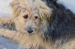 粗野的狗 免版税库存照片