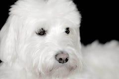 粗野的白色狗看起来逗人喜爱 免版税图库摄影