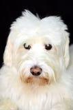粗野的白色狗看起来逗人喜爱 免版税库存图片