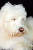 粗野的白色狗看起来逗人喜爱 库存照片