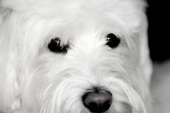 粗野的白色狗看起来逗人喜爱 库存图片