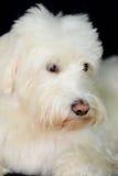 粗野的白色狗看起来逗人喜爱 免版税库存照片