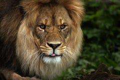 粗鲁的狮子 免版税库存照片