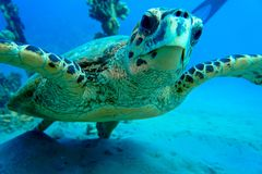 粗麻布鼻子海龟 库存图片