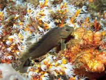 粘鱼和珊瑚 库存图片