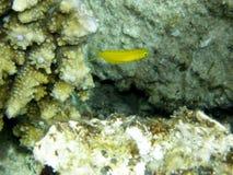 粘鱼黄雀色犬齿斐济黄色 库存图片