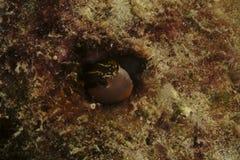 粘鱼, Kapalai海岛,沙巴 免版税库存图片