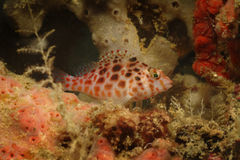 粘鱼, Kapalai海岛,沙巴 库存照片