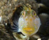 粘鱼marmoreus parablennius海草 免版税图库摄影