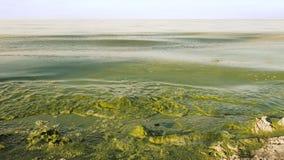 藻粪绽放污水绿色在湖 库存照片