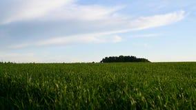 粮食作物绿色新芽的领域反对蓝天的 股票录像