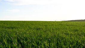 粮食作物绿色新芽的领域反对蓝天的 影视素材