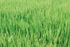 粮食作物绿色背景  库存照片